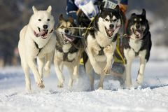 Sleddog race. Front view at four  alaskan malamute at race in winter Royalty Free Stock Photo