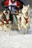 Sleddog race Stock Image
