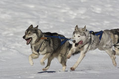 Sleddog race Stock Images