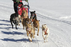 Sleddog race. Sled dogs pulling toboggan in world cup race Stock Photos