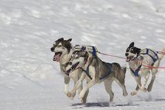 Sleddog race. Sled dogs pulling toboggan in world cup race Stock Photography