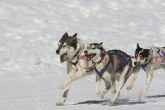 Sleddog race. Sled dogs pulling toboggan in world cup race Stock Images