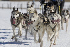 Sleddog race. Sled dogs pulling toboggan in world cup race Royalty Free Stock Photos