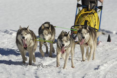 Sleddog race Royalty Free Stock Photos