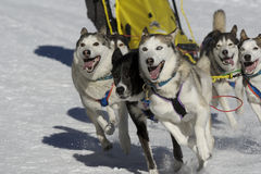 Sleddog race. Sled dogs pulling toboggan in world cup race Royalty Free Stock Photo