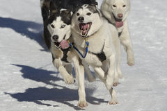 Sleddog race Royalty Free Stock Images