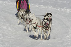 Sleddog race. Sled dogs pulling toboggan in world cup race Royalty Free Stock Image