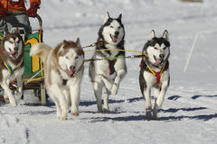 Sleddog race. Sled dogs pulling toboggan in world cup race Royalty Free Stock Photography