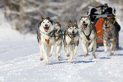 Sleddog race. Musher hiding behind sleigh at sled dog race on snow in winter Stock Photos