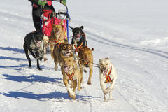Sleddog race Royalty Free Stock Image