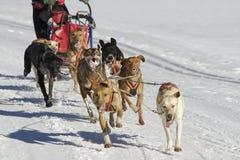 Sleddog Rennen Lizenzfreies Stockfoto