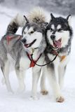 Sleddogs royalty free stock image