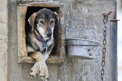 Sledge dog in Alaska Stock Image
