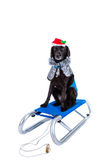 Sledge dog Royalty Free Stock Image