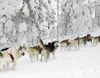 Sledge dogging Stock Photo