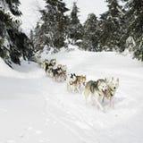 Sledge dogging Stock Photography