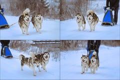 Sledge dogs Stock Image