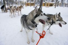 Sledge dogs eager to run, Kakslauttanen, Lapland, Finland Royalty Free Stock Photography