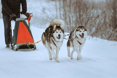 Sledge dogs Royalty Free Stock Image