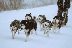 Sledge dogs Royalty Free Stock Images