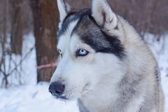 Sledge dogs in snow. Race siberian husky dogs in winter forest royalty free stock image