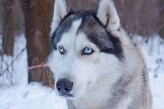 Sledge dogs in snow. Race siberian husky dogs in winter forest stock images