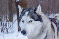Sledge dogs in snow. Race siberian husky dogs in winter forest stock image