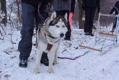 Sledge dogs in snow. Race siberian husky dogs in winter forest stock photo