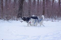 Sledge dogs in snow. Race siberian husky dogs in winter forest royalty free stock photography