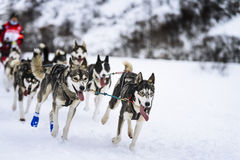 Sledge dogs in speed racing Stock Photos