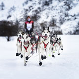Sledge dogs in speed racing Royalty Free Stock Image