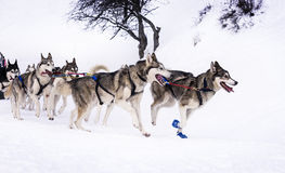 Sledge dogs in speed racing Stock Images