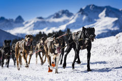 Sledge dogs in speed racing Royalty Free Stock Images