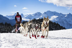 Sledge dogs in speed racing Royalty Free Stock Photo