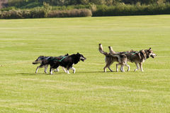 Sledge Dogs Stock Photography
