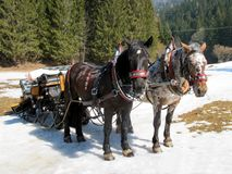 Sledges, troika. Horse-drawn sleigh in the snow Stock Image