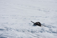 Sledging Gentoo Royalty Free Stock Images