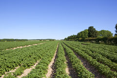 Sledmere potato crop Stock Photos
