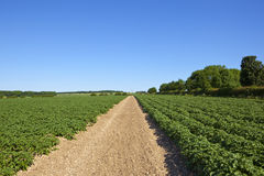 Sledmere potato field Stock Photo