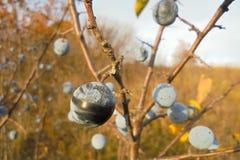 Sleedoorn op een tak zonder bladeren in de herfst in het weideclose-up stock afbeelding