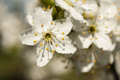 Sleedoorn - Prunus-de close-up van spinosabloemen Royalty-vrije Stock Fotografie