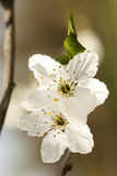 Sleedoorn - Prunus-de close-up van spinosabloemen Royalty-vrije Stock Foto