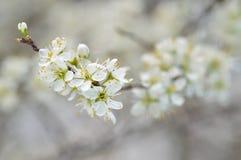 Sleedoorn (Prunus-spinosa) bloesem. Tak met witte bloemen Royalty-vrije Stock Fotografie