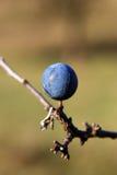 Sleedoorn (Prunus spinosa L.) Royalty-vrije Stock Afbeelding