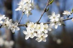 Sleedoorn - Prunus-spinosabloemen Stock Afbeelding