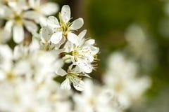 Sleedoorn slån, Prunusspinosa arkivbilder
