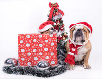 Sleeepy bulldogs with Christmas tree Royalty Free Stock Photo
