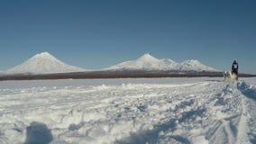 Sleehond die op achtergrond van de vulkanen van Kamchatka rennen stock videobeelden