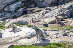 Sleehonden in Ilulissat, Groenland royalty-vrije stock foto