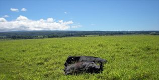 Sleek Black Cows Resting in the Green Grass Royalty Free Stock Photography